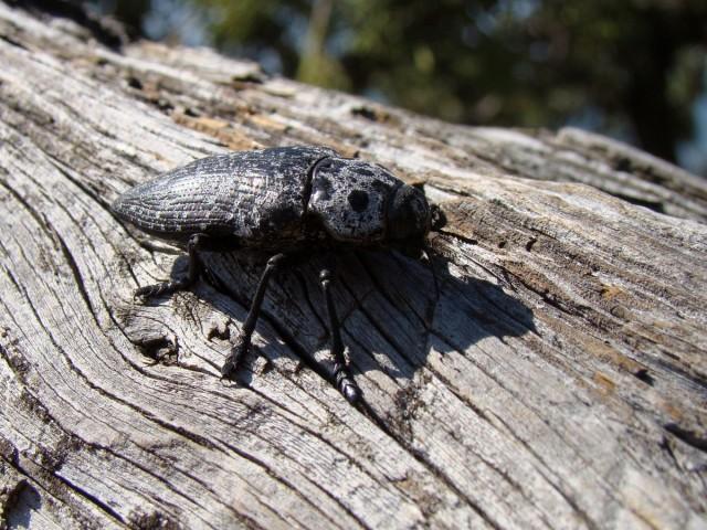 горное насекомое)